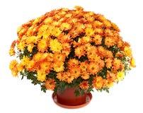 Chrysanten in bloempot Stock Afbeelding