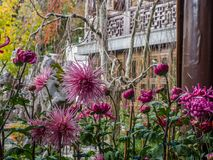 Chrysanten in Chinese tuin Stock Afbeelding