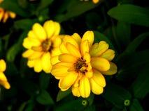Chrysanten gele bloem royalty-vrije stock fotografie