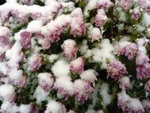 Chrysanten mums bloemen in sneeuw royalty-vrije stock fotografie