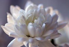 Chrysanten pluizige bloem in close-upmening royalty-vrije stock fotografie