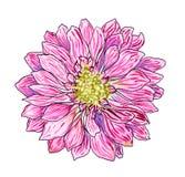 Chrysanten roze bloem, waterverf met zwarte contourhand geschilderde illustratie Stock Afbeeldingen