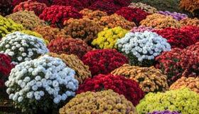 Chrysanten van diverse kleuren Royalty-vrije Stock Fotografie