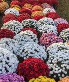 Chrysanten van diverse kleuren Stock Afbeelding