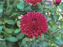 Chrysantenbloei in de tuin Stock Foto