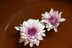 Chrysantenbloem in het purpere en witte kleur drijven royalty-vrije stock foto's