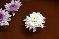 Chrysantenbloem in het purpere en witte kleur drijven stock foto