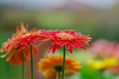 Chrysantenbloem in kleur Royalty-vrije Stock Foto