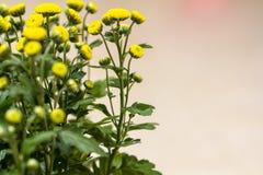 Chrysantenbloemen stock foto