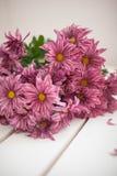 Chrysantenbloemen als dichte omhooggaand als achtergrond Roze royalty-vrije stock afbeelding