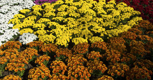 Chrysantenbloemen in verschillende kleuren Royalty-vrije Stock Afbeeldingen
