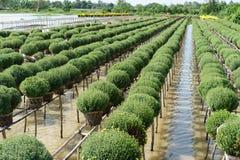Chrysantenmorifolium is regionale specialiteiten in Sa-de Stad van Dec, een beroemde plaats voor bloementeelt in Vietnam Bloemist Royalty-vrije Stock Foto