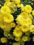 Chrysanthème images stock