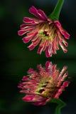 Chrysanthème Images libres de droits