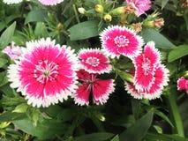 Chrysanthème Photo libre de droits
