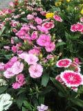 Chrysanthème Image libre de droits