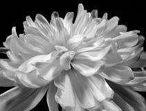 Chrysanthème Photos stock