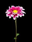 Chrysanthème Images stock