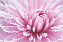 Chrysanthème Photos libres de droits