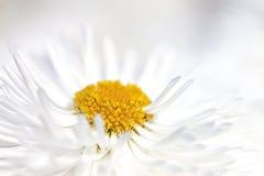 Chrysanthème Image stock