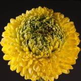 Chrysanthème Photographie stock libre de droits