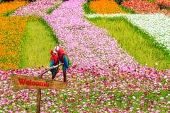 Chrysanthème automnal rose coloré dans le jardin Images stock