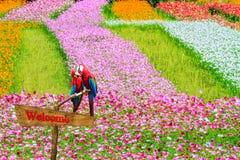 Chrysanthème automnal rose coloré dans le jardin Images libres de droits