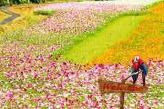 Chrysanthème automnal rose coloré dans le jardin Image libre de droits