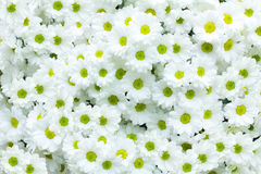 Chrysanthème blanc Photo stock