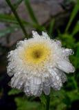 Chrysanthème blanc avec de grandes gouttes de l'eau Photos stock