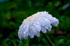 Chrysanthème blanc avec de grandes gouttes de l'eau de pluie Photos stock