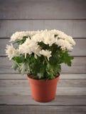 Chrysanthème blanc dans le pot de fleur avec le cadeau, carte de voeux, sur le backround en bois gris Photos libres de droits