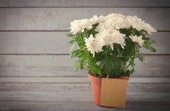 Chrysanthème blanc dans le pot de fleur avec le cadeau, carte de voeux, sur le backround en bois gris Photo libre de droits
