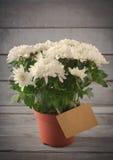 Chrysanthème blanc dans le pot de fleur avec le cadeau, carte de voeux, sur le backround en bois gris, vertical Photos stock