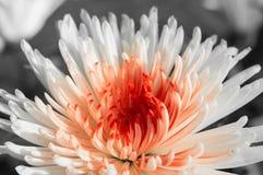 chrysanthème Blanc-rouge sur un fond foncé Photos stock