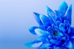 Chrysanthème bleu Images libres de droits