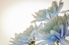 Chrysanthème bleu sur le fond blanc Photographie stock libre de droits
