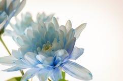 Chrysanthème bleu sur le fond blanc Photographie stock