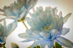 Chrysanthème bleu sur le fond blanc Images stock
