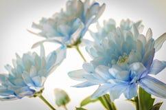 Chrysanthème bleu sur le fond blanc Photo stock