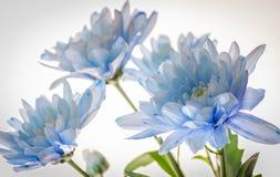 Chrysanthème bleu sur le fond blanc Photos stock