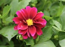 Chrysanthème cramoisi Photo stock