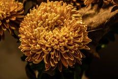 Chrysanthème dans la lumière froide image stock