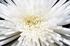 Chrysanthème de blanc de neige Images stock
