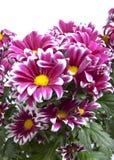Chrysanthème de cramoisi de buisson de branche Photos libres de droits