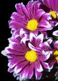 Chrysanthème de cramoisi de buisson de branche Photos stock