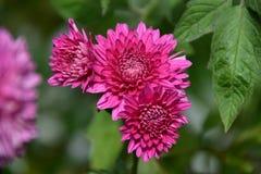 Chrysanthème de fleur image stock