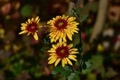 Chrysanthème de fleur images stock
