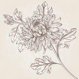 Chrysanthème de fleur illustration libre de droits