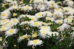 Chrysanthème en fleurs Images libres de droits